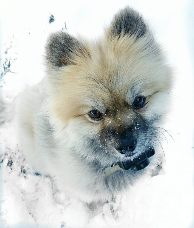 Little snow puppy sleddog pomeranian snowpup