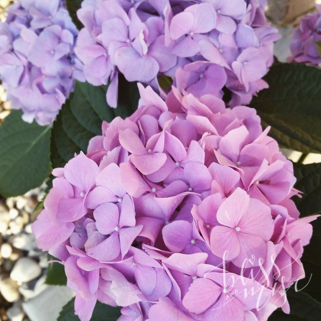 Adding some color to our landscaping #hydrangea #springcolors